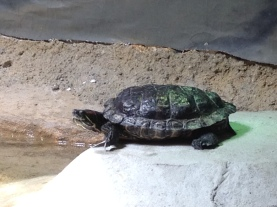 Turtle from the Belle Isle Nature Zoo in Detroit. Credit Leslie Green